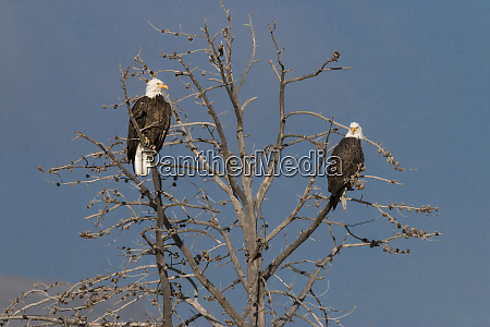 bald eagles yellowstone national park wyoming