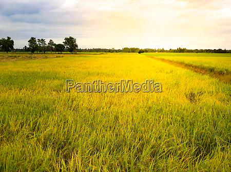 paddy fields in thailand
