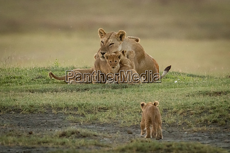 lion cub approaches siblings climbing on