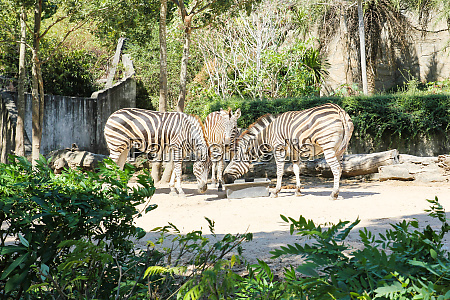 zebras eating food in a zoo