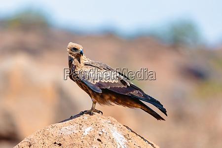 black kite ethiopia safari wildlife