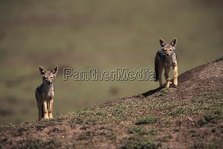 kenya maasai mara national reserve portrait