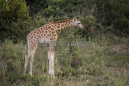 east africa kenya nairobi langata hog