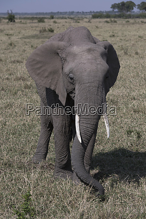 kenya africa african elephant in the