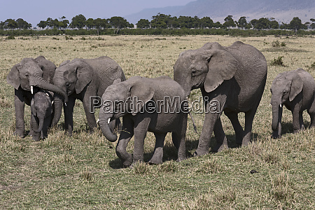 kenya africa six african elephants in