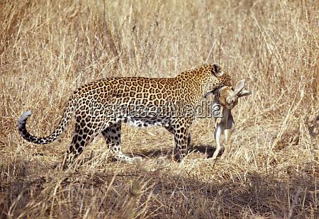africa kenya masai mara nr a