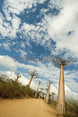 madagascar morondava baobab alley view on