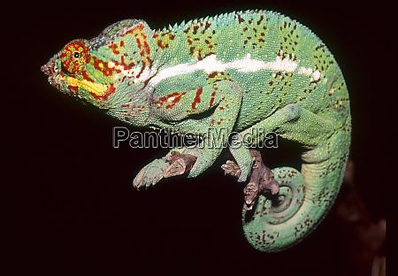 panther chameleon furcifer pardalis madagascar africa