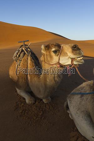 morocco sahara a camel appears to