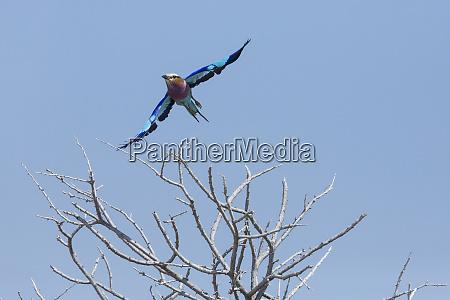 lilac breasted roller coracias caudatus flies