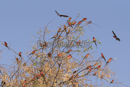 southern carmine bee eaters merops nubicoides