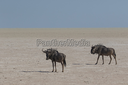 wildebeest on the open pan etosha
