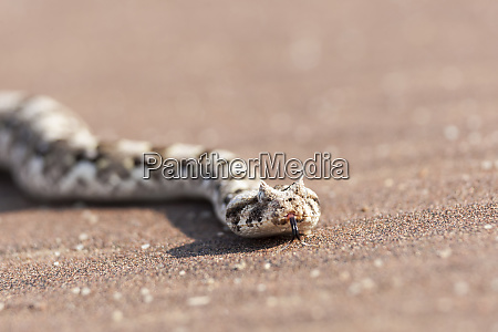 africa namibia swakopmund horned adder bitis