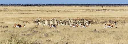 africa namibia etosha national park springbok