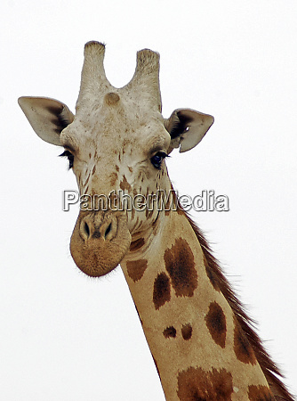 niger koure giraffe in the west