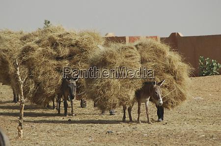 donkeys bending under big loads of