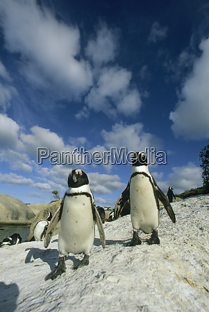 african penguins spheniscus demersus colony cape