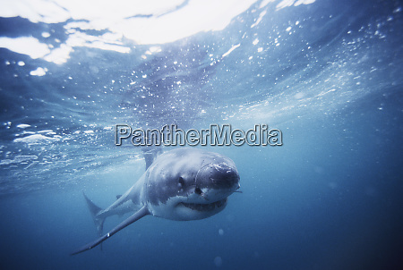 south africa great white shark swimming