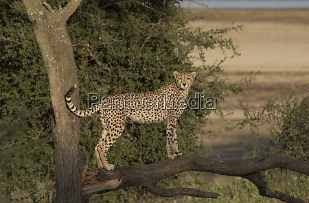 africa tanzania serengeti cheetah mother acinonyx