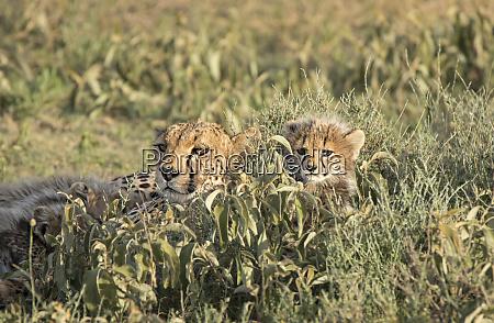 africa tanzania serengeti mother cheetah and