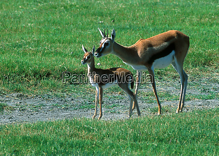a mother thompsons gazelle stays near
