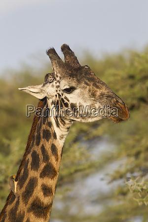 bull masai giraffe head and neck