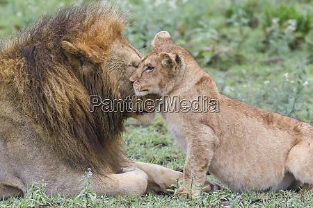 female cub nuzzles adult male lion