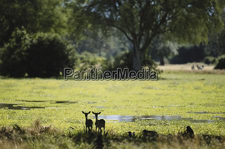 zimbabwe hwange national park impala aepyceros