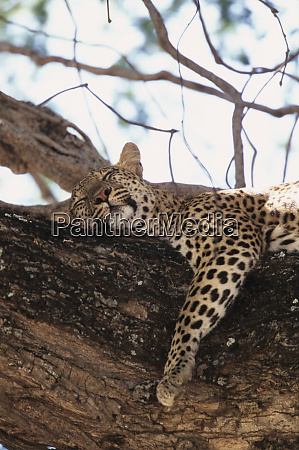 zimbabwe mana pools national park leopard