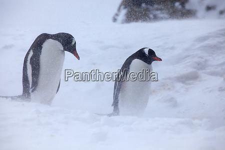 antarctica brown bluff gentoo penguins in