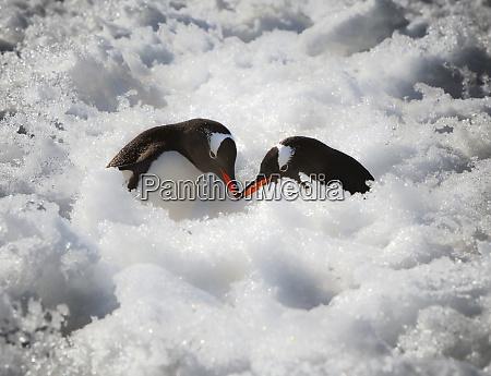 antarctica a pair of gentoo penguins