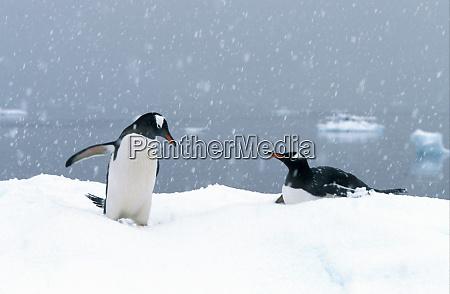 gentoo penguins pygoscelis papua in snow