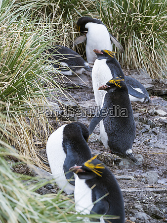 macaroni penguin eudyptes chrysolophus standing in