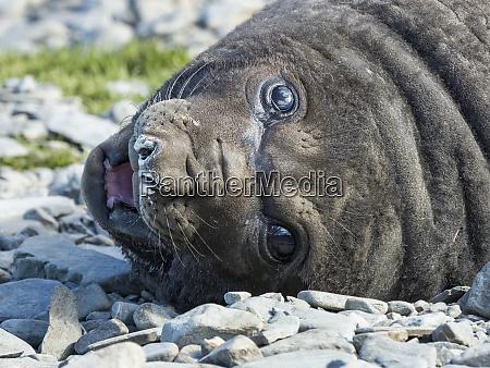 southern elephant seal mirounga leonina weaned