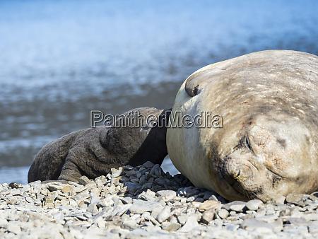 southern elephant seal mirounga leonina suckling