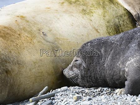 southern elephant seal mirounga leonina female