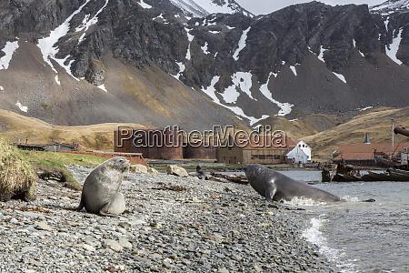 fur seal and elephant seal grytviken