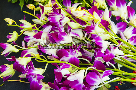 myanmar mandalay orchids for sale in