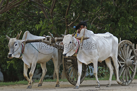 myanmar mandalay white oxes pulling a