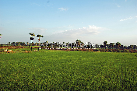 myamar green ricefield coconut trees in