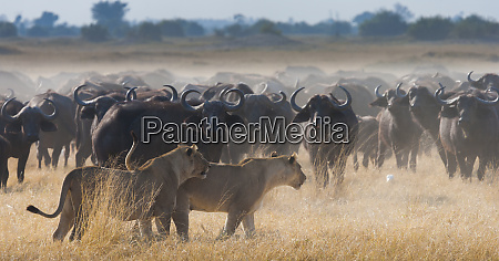african lions and buffalo botswana