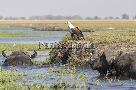 africa botswana chobe national park cape