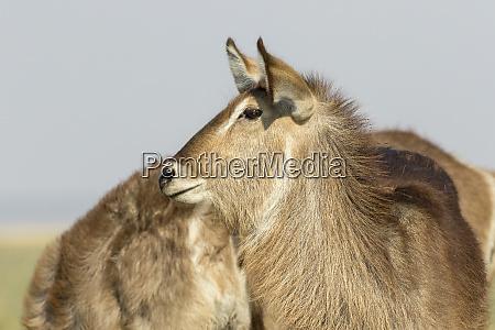 africa botswana chobe national park common