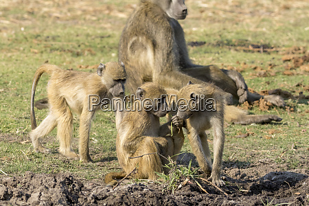 africa botswana chobe national park three