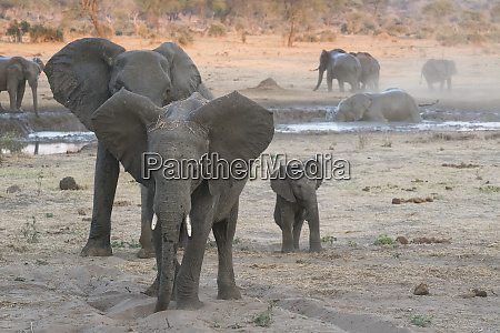 young bull posture defensively botswana