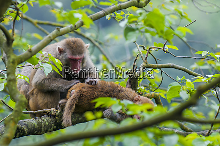 wild macaque monkeys macaca mulatta near