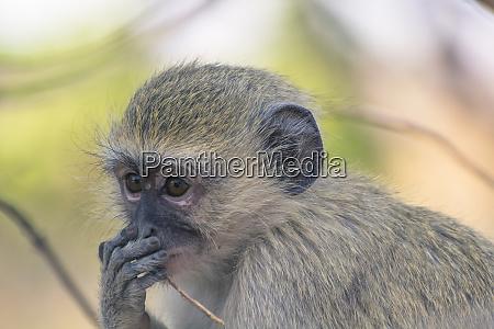 botswana chobe national park vervet monkey