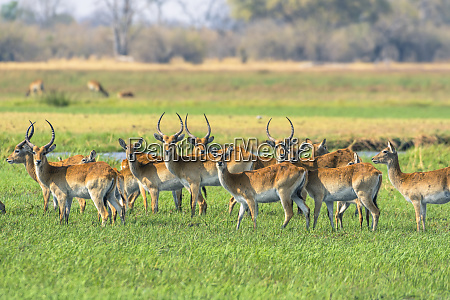 botswana okavango delta khwai concession red
