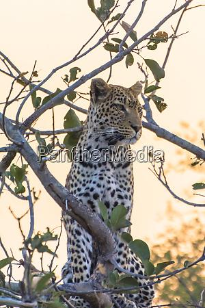 botswana okavango delta khwai concession leopard