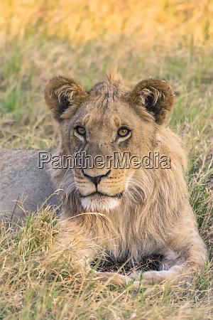 botswana chobe national park savuti juvenile